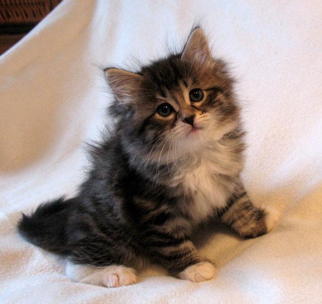 Siberian Kittens Cats